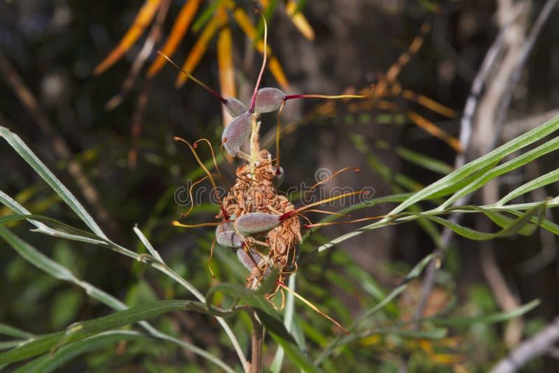Callistemon pod. Callistemon (bottlebrush) pod makes a beautiful piece of artwork in the Burrum National Park stock images