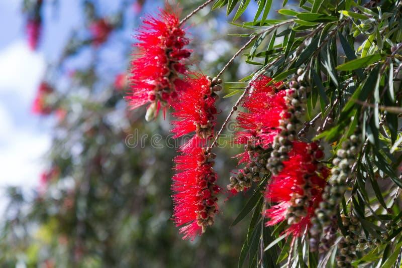 Callistemon viminalis ( Melaleuca viminalis) plant. Closeup of Callistemon viminalis ( Melaleuca viminalis) plant in spring stock images