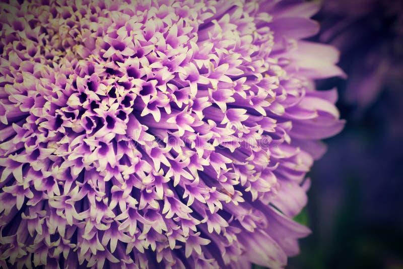 Callistephus中华的翠菊细节或每年翠菊紫罗兰色紫色花当地人向中国和韩国 免版税库存照片