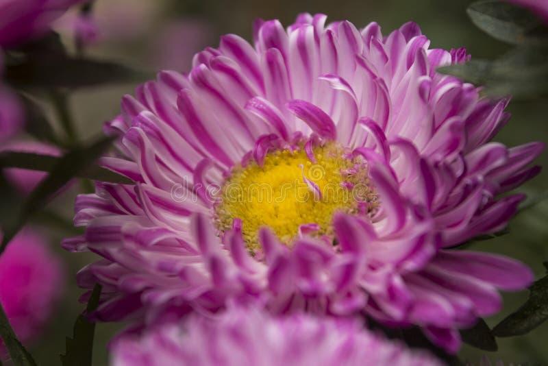 Callistephus chinensis стоковая фотография