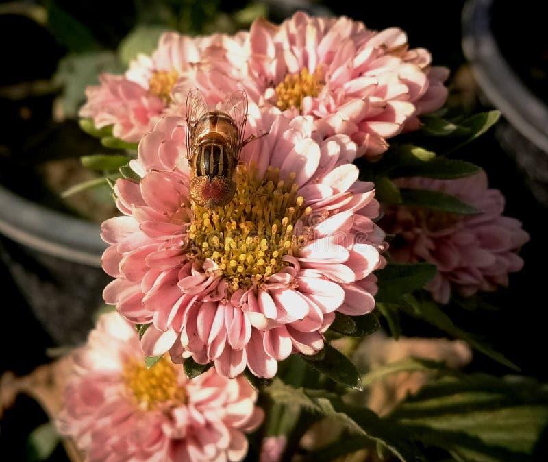 Callistephus indien de guldaudi dans le jardin photos stock