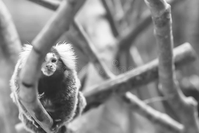 Callithrix, genus of New World monkeys royalty free stock images