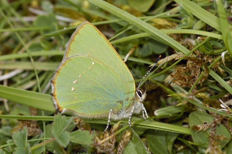 callophrys zielenieją modraszka rubi fotografia royalty free