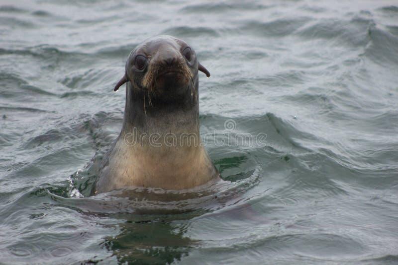 Callorhinus ursinus nordico selvaggio della guarnizione di pelliccia sull'isola n di Tuleniy fotografie stock libere da diritti