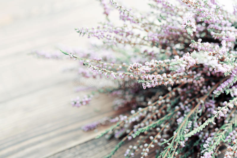 Calluna vulgaris, ερείκη στοκ εικόνες