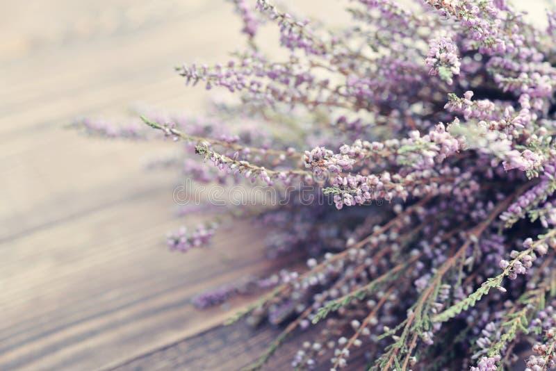 Calluna vulgaris, ερείκη στοκ φωτογραφίες με δικαίωμα ελεύθερης χρήσης