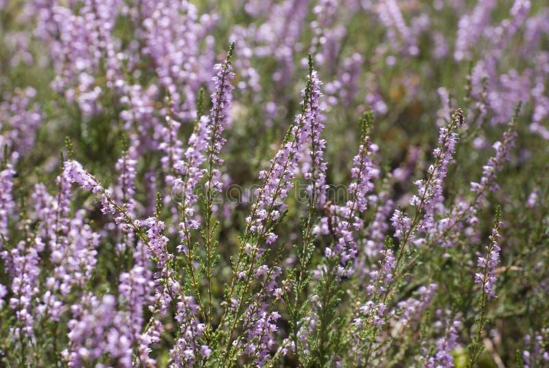 Calluna vulgaris stock images