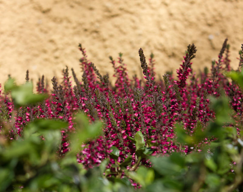 Calluna vulgaris στοκ φωτογραφίες