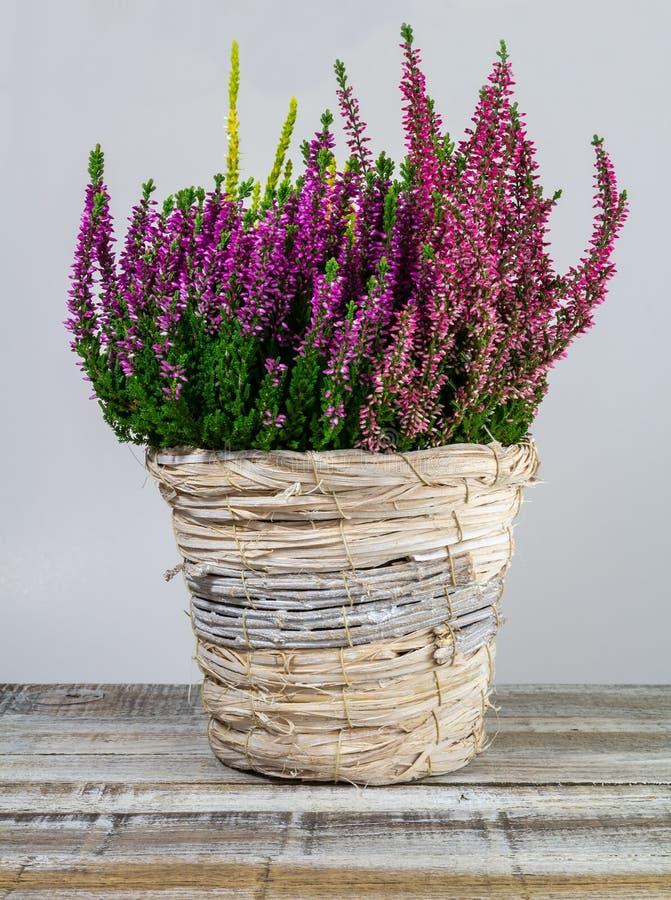 Calluna vulgaris, heath-blomma i en torr torktumlare på skrivbordet, tät royaltyfri foto