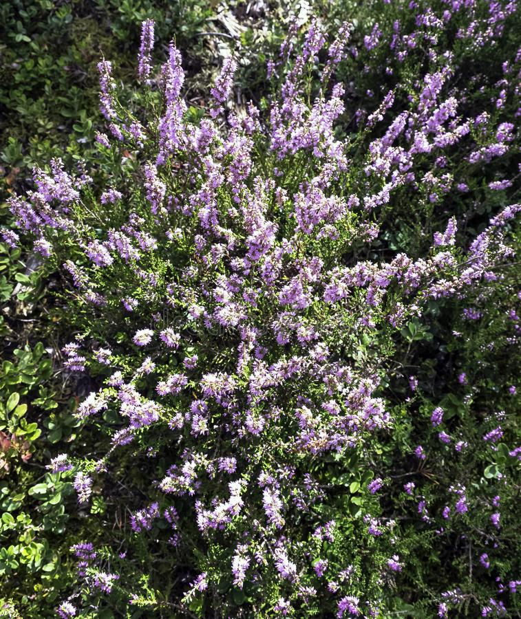 Calluna vulgaris known as common heather or ling stock images