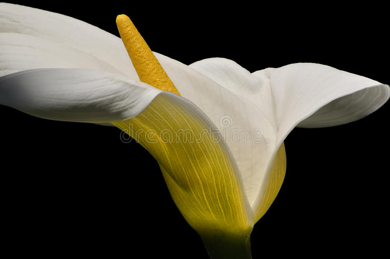 cally лилия стоковое фото rf