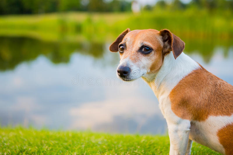Calm dog sitting on the banks of the river stock photo