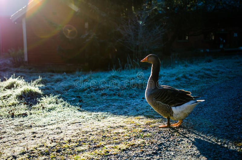 Calm goose. Warming in the sunlight royalty free stock photo