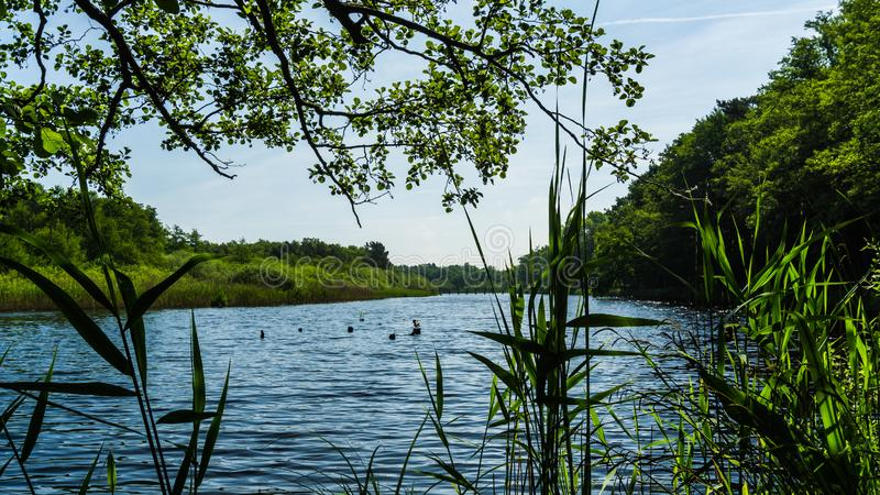 Calm lake with reed. Grass and surrounded by trees royalty free stock photography