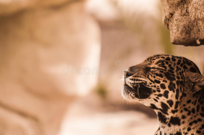 Calm Leopard. A calm leopard relaxes in his habitat royalty free stock photography