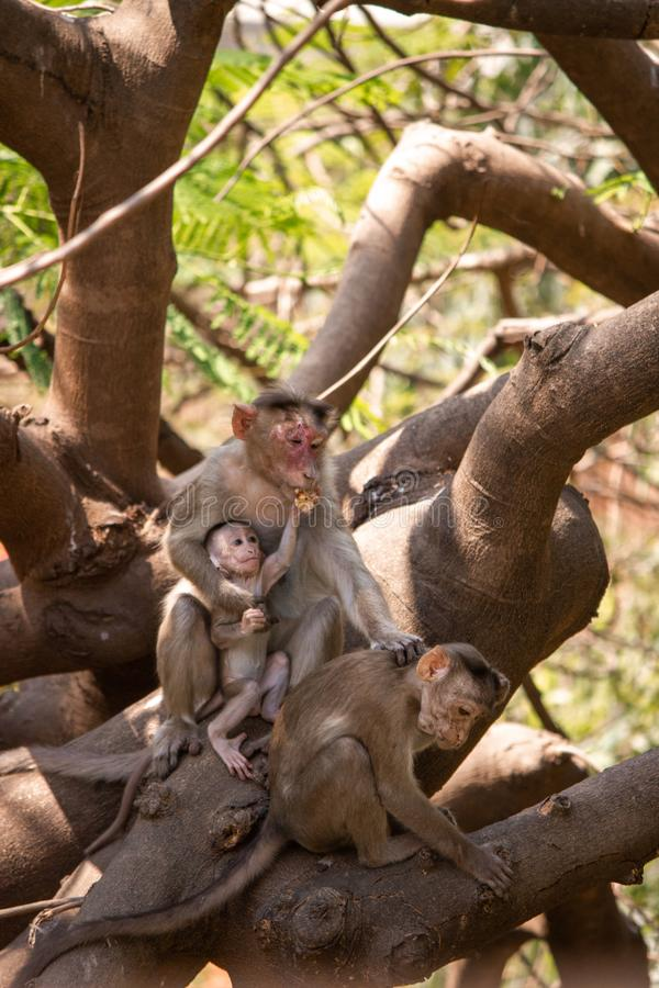 A calm and hurt mother monkey handling its two babies stock photos