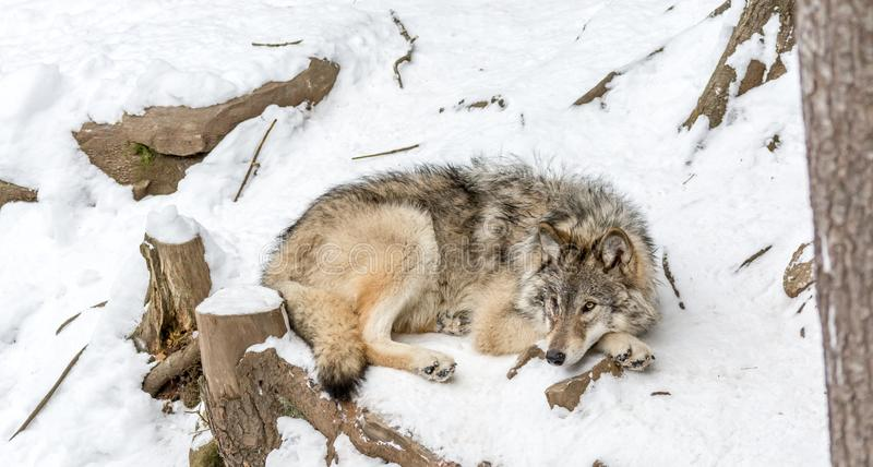 Calm and peaceful brown wolf in a snowy rocky landscape. Montebello, Quebec, Canada royalty free stock image