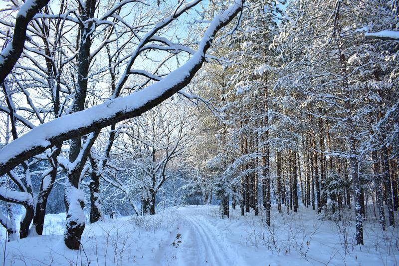 Calm, silence, beauty, nature wrapped in snow. There are no traces in the snow, the forest as if extinct, life in the picture froz. E. The image is characterized stock photography