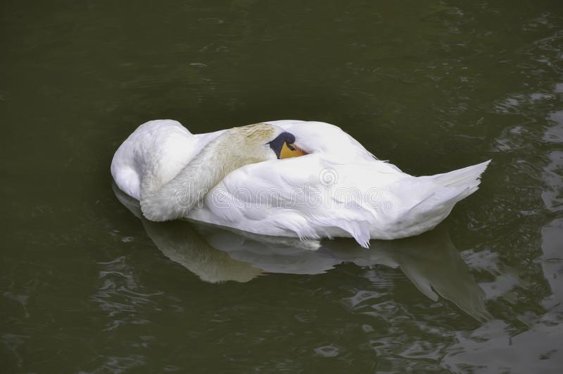 Swan relaxing, sleeping on the lake royalty free stock images