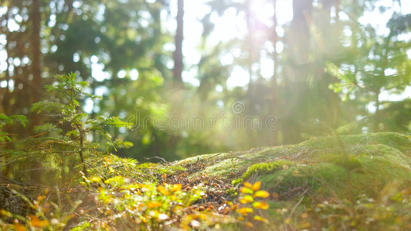 Calm Tranquil Forest Scene royalty free stock photography