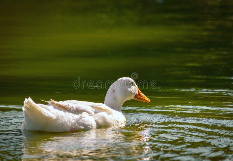 Calma animal de Beaty dos animais selvagens brancos do pássaro do ganso e fundo de relaxamento da paisagem da natureza do ar livr imagem de stock royalty free