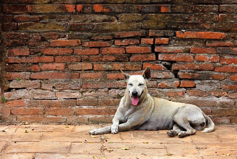 Calma di riposo del cane randagio bianco su un muro di mattoni rosso fotografie stock libere da diritti