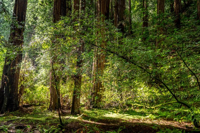 Calma en Muir Woods National Park imágenes de archivo libres de regalías