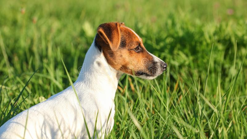 Calma que se sienta del pequeño terrier de Jack Russell en la hierba que mira al lado, sol que brilla en su cabeza imagen de archivo