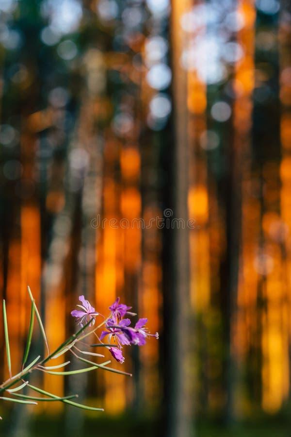 Calma y Sunny Summer Day en el bosque, con Sun brillando a través de los árboles fotografía de archivo
