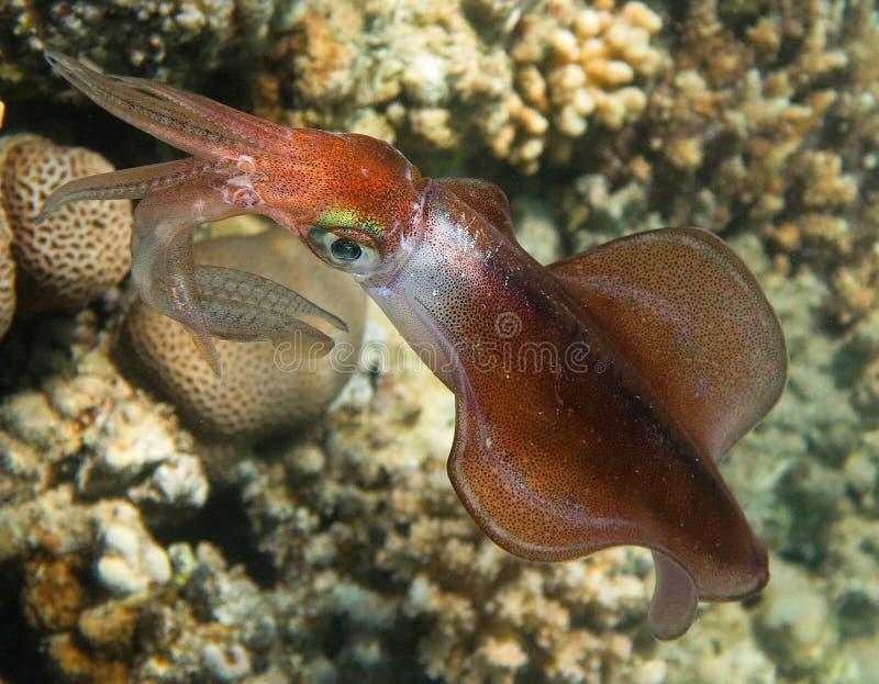 Calmar de récif de Bigfin photos stock