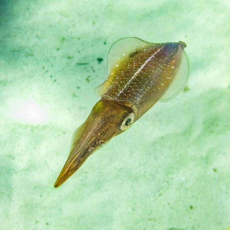 Calmar des Caraïbes de récif photo stock