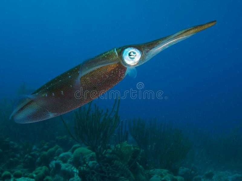 Calmar des Caraïbes de récif avec de l'eau le récif et bleu à l'arrière-plan, Bonaire, Néerlandais Antilles image stock