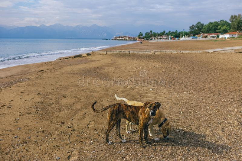 Calme los perros grandes no criados en línea pura que juegan en la playa arenosa del verano soleado fotos de archivo libres de regalías
