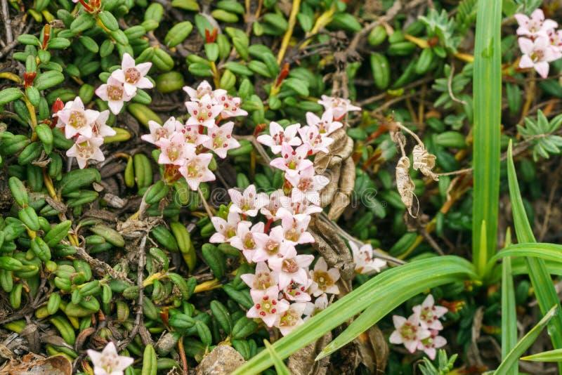 Calmia die lat liggen Kalmia procumbens - een type van bosrijke installaties van de heidefamilie Ericaceae stock foto's