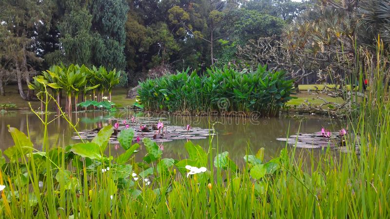 Calming scene at a pond. Tropical pond and plants, green, nature, garden, tropical, background, growth, summer, spring, trees, grasses, lilies royalty free stock images
