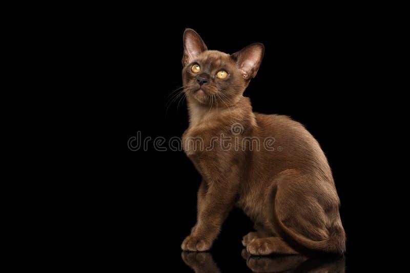 Calmly little Burma Kitty Sitting Isolated Black Background stock image