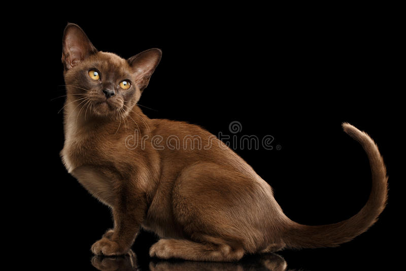 Calmly little Burma Kitty Sitting Isolated Black Background stock images