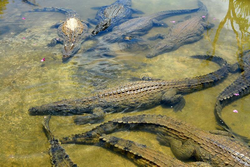 A flock of crocodiles rest in the water. This calmness is deceptive and dangerous stock photo