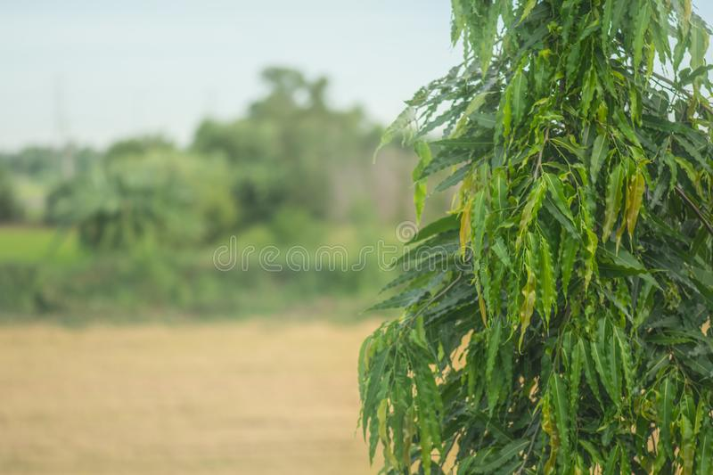 Calocedrus macrolepis Kurz,CUPRESSACEAE. And rice field background royalty free stock images