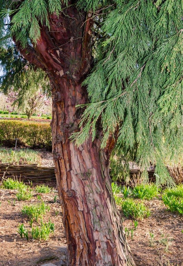CALOCEDRUSdecurrens TORREY FLORIN, Calocedrus, rökelsecederträ Träd i botaniken i Niemcza, Polen arkivbild