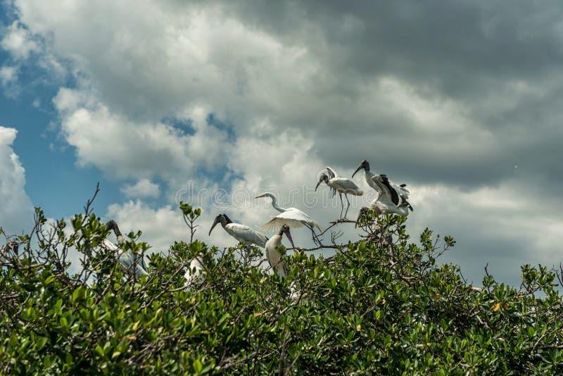 Caloosahatchee-Fluss in Fort Myers und in den Pelikan-Vögeln auf Baum stockbilder