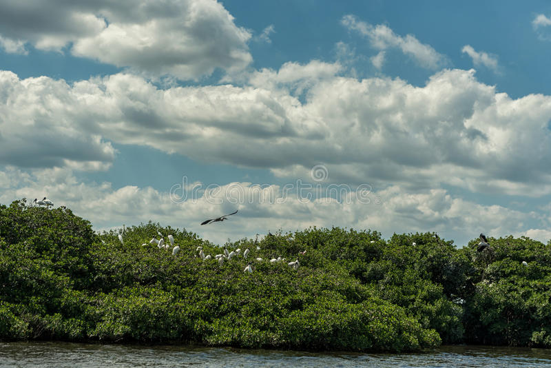 Caloosahatchee-Fluss in Fort Myers und in den Pelikan-Vögeln auf Baum lizenzfreies stockfoto