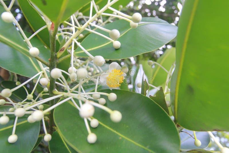Calophylluminophyllum, bloem royalty-vrije stock afbeeldingen