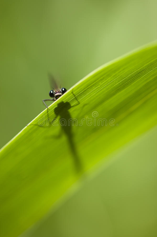 Calopterix damselfly stock images