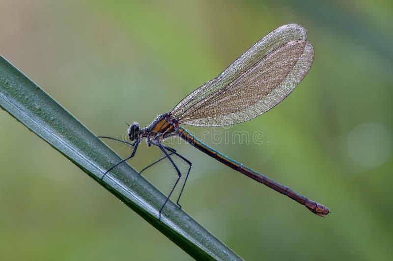 Calopteryx splendens女性 库存照片
