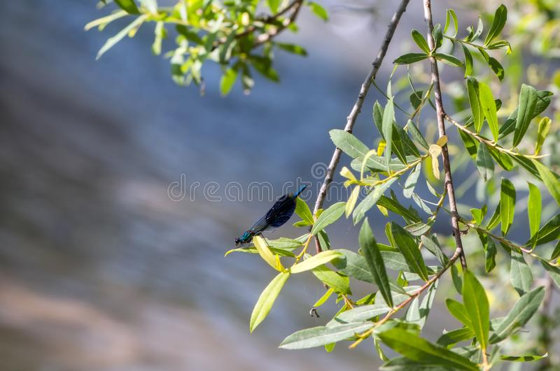 Calopteryx splendens sitting on a tree branch in the river royalty free stock photo