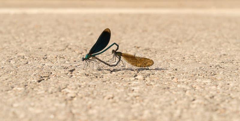 Calopteryx virgo Piękny demoiselle szturman na drodze Zbliżenie żeński i męski dragonfly zdjęcia royalty free