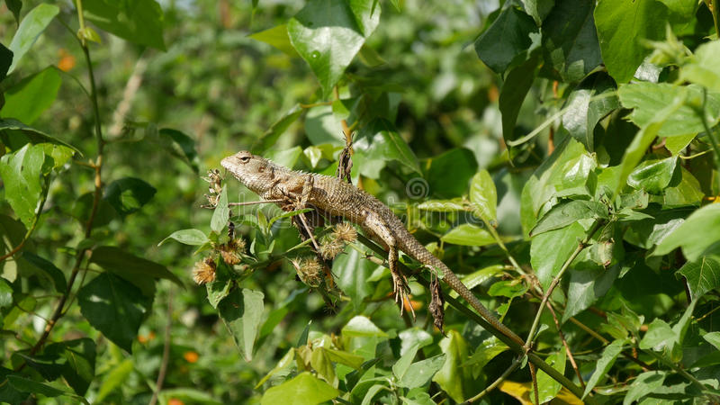 Calotes印地安人蜥蜴 图库摄影