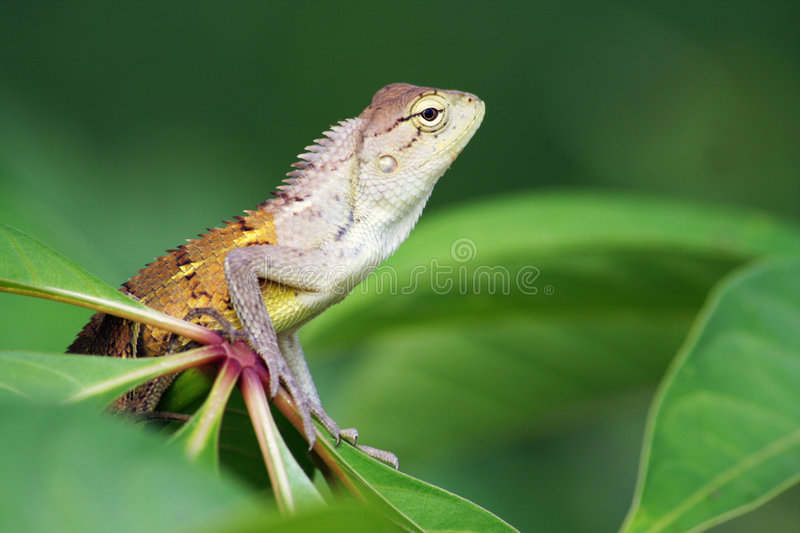 Calotes Indian lizard stock photos