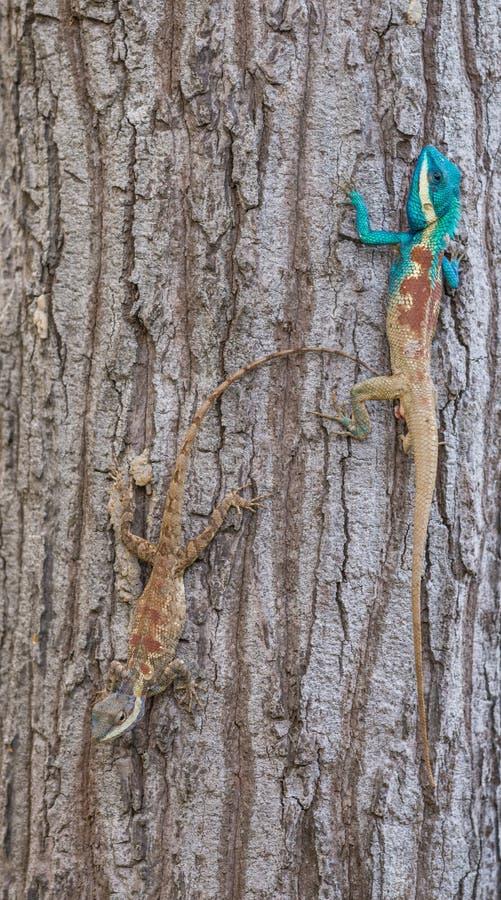 Calotes-mystaceus, die indo-chinesische Waldeidechse oder blaue Eidechse mit Haube stockbild
